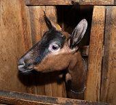 stock photo of nubian  - Nubian brown  nice thoroughbred goat in barn - JPG