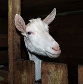 stock photo of saanen  - Saanen white  nice thoroughbred goat in barn - JPG