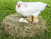 picture of baby chick  - Baby chicks inside nest with their mother - JPG