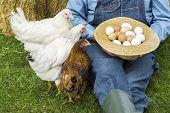 picture of farmer  - Farmer holding hat full of eggs from free range hens - JPG