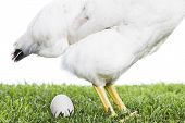 picture of egg-laying  - Hen laying down egg in Green field - JPG