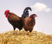 stock photo of hay bale  - Brown rooster and hen on bale of hay - JPG