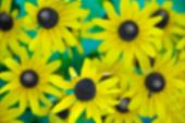 pic of black-eyed susans  - An Abstract Floral Background Image of a Black Eyed Susan - JPG