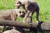 foto of cheetah  - Two cheetah cubs enjoy play time on the grass - JPG