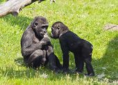picture of gorilla  - Two young gorillas on the grass on a sunny day