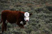 Friendly Calf