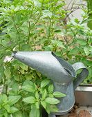image of pitcher  - Sweet Basil Green Leaf with An Old Metal Watering Can or Galvanized Pitcher in The Garden - JPG