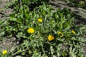 picture of yellow buds  - Green bush dandelion - JPG