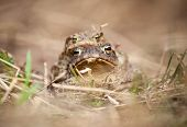 stock photo of copulation  - Mating frogs  - JPG