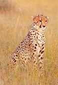 stock photo of kill  - Male cheetah sitting in grass near a killed gazelle in Masai Mara Kenya - JPG