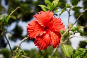 picture of rosa  - Beautiful red hibiscus rosa - JPG
