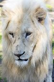 image of african lion  - White South African male lion  - JPG
