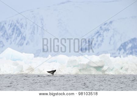Narwhal or narwhale Monodon monoceros
