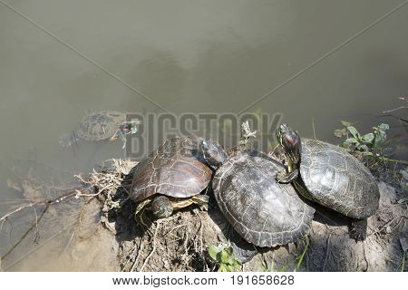 The red-cheeked turtle is a subspecies of the Emydidae family. This species and its subspecies also known as red-cheeked water turtle or Singapore tortoise have an amphibious life and are regarded as pets all over the world