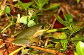 Squirrel Treefrog (Hyla squirella)