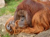 Orange Utan Thinking