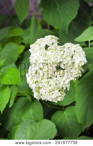 Blooming White Annabelle Hydrangea Arborescens