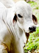 picture of zebu  - Zebu cow at a cattle farm or ranch - JPG