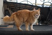 Long Haired Red Cat Goes On Cat Affairs, Outdoor Cat, Red Tabby Longhair Furry Cat poster