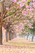 Pink Trumpet Tree Row With Mist In Sunrise Time / Pink Trumpet With Sunrise poster