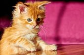 Playful and Cute Maine Coon Kitten poster