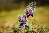 Clump Of Beautiful Wind Flowers, Meadow Anemone, Pasque Flowers With Dark Purple Cup Like Flower And poster