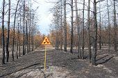 Dead forest.Near Chernobyl area.Kiev region,Ukraine
