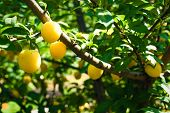 Fruits Of Cherry-plum On Tree. Ripe Gifts Of Nature. Fruits Of Yellow Plum On Tree Branch In Summer  poster