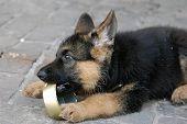 Постер, плакат: Немецкая овчарка Собаки щенка играть с пустыми пищи может Вблизи Киев Украина