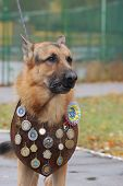 KIEV,UKRAINE-OCTOBER 15:An unidentified German Shepherd dog at the Kiev Regional exhibition of dogs