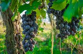 Branches Of Red Wine Grapes Growing In Italian Fields. Close Up View Of Fresh Red Wine Grape In Ital poster