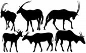 pic of eland  - antelopes  - JPG