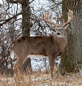 stock photo of buck  - Profile of a trophy sized whitetail deer buck - JPG