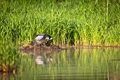 image of loon  - Common loon incubates and turns an egg on the nest - JPG