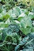 stock photo of cruciferous  - background of young collard and cabbage plants growing in vegetable garden