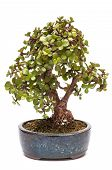 Dwarf Jade Plant As Bonsai Tree