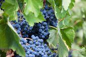 Bunch Of Ripe Dark Grapes