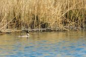 foto of great crested grebe  - Great Crested Grebe swimming in Dutch nature Biesbosch - JPG