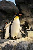 King Penguins Aptenodytes Patagonicus In A Dark Background