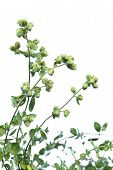 stock photo of origanum majorana  - Marjoram or Sweet marjoram  - JPG
