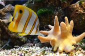 foto of butterfly fish  - marine for aquarium fish Chelmon rostratus Coperband butterfly - JPG