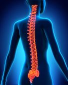 stock photo of spinal cord  - Illustration of Human Spine Anatomy - JPG