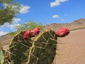 picture of nopal  - Paddle cactus with red fruits in Arizona desert - JPG