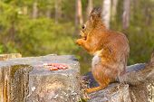 Squirrel With Nuts And Summer Forest On Background Wild Nature Thematic (sciurus Vulgaris, Rodent)