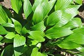 Hosta Guacomole