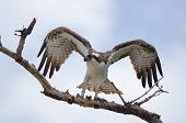 foto of osprey  - Osprey on tree branch just after landing - JPG