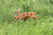 foto of deer family  - roe deer doe  - JPG