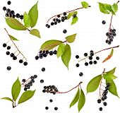 Collection set of bird cherry branch with berries isolated on a white background