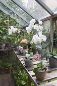 Flowering orchid on workbench in greenhouse