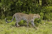 Leopard (Panthera pardus) side view